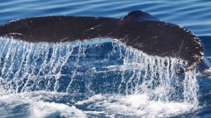 Full Day Whale Watching and Whitehaven Cruise with Lunch